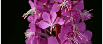 цветок иван чая