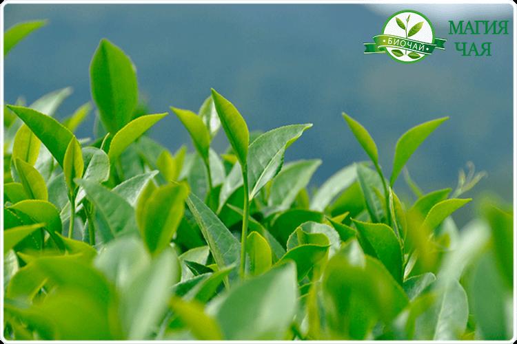 как растет зеленый чай