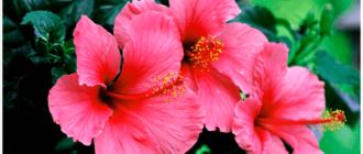каркаде цветок